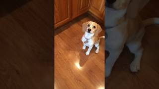 Puppy Plays with Blackberry in Kitchen