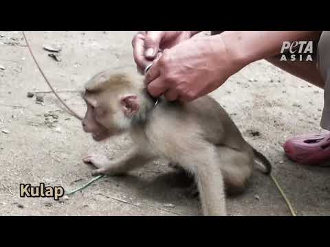 Monkeys Chained, Driven Insane for Your Coconut Milk and Oil