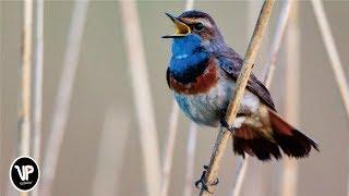 Gambar cover Efek Suara - Burung di Kartun (Sound Effect Birds Cartoon)