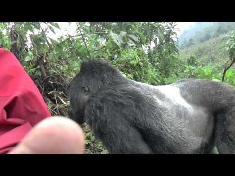 Gorilla Silverback Rwanda Pounds chest