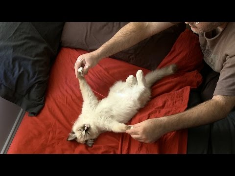 How to be a floppycat - PoathCats / PoathTV / Floppy Ragdoll Cats