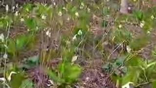 岩手県小岩井農場近郊に咲いた水芭蕉を撮影しましたので御覧下さい。