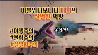 [#파충류 Vlog] 마블워터모니터 매화의 살벌한 먹방…