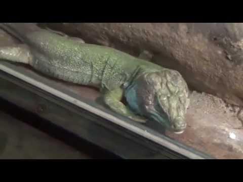Moroccan Eyed Lizard (Timon tangitanus) Prague Zoo לטאת עיניים מרוקאית