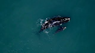 Southern Right Whales (Mother & Calf) - Wilderness viewpoint