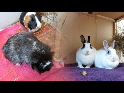 Guinea Pigs & Bunny Rabbits - Health, Care, Welfare & our Gang!