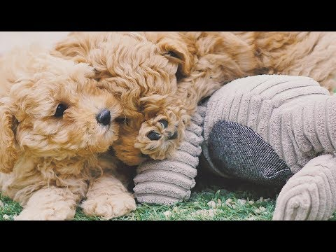 Moodle Puppies Chevromist Kennels