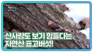 베테랑 산사람도 보기 힘들다는 자연산 표고버섯을 발견하…