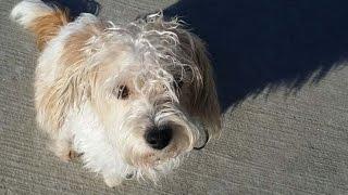 Sophie- Beaglepoo - Obedience Board & Training - Tulsa Ok