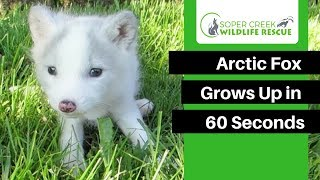 Watch this Arctic Fox Grow Up in 60 Seconds | Animal Growth Time Lapse