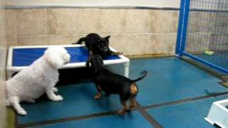 Dachshund And Shiba Inu Puppy Play At Doggie Oasis Day Care In Las Vegas, Nv