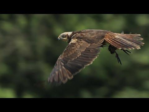 Different Marsh Harriers In Flight