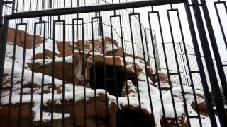 Винторогий козёл на заснеженных склонах... зоопарка