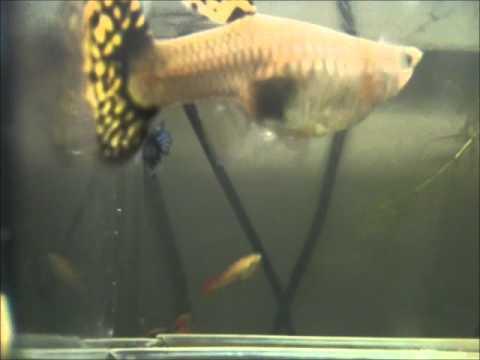 Parto guppy poecilia reticulata in sala parto youtube for Sala parto pesci