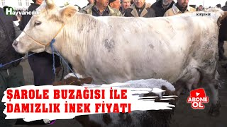 Hayvan Pazarı - Şarole Buzağısı ile Birlikte Damızlık İnek Fiyatı / Kırşehir - 2018