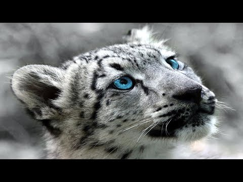 Snow Leopard (Panthera Uncia Facts) CAT Documentary