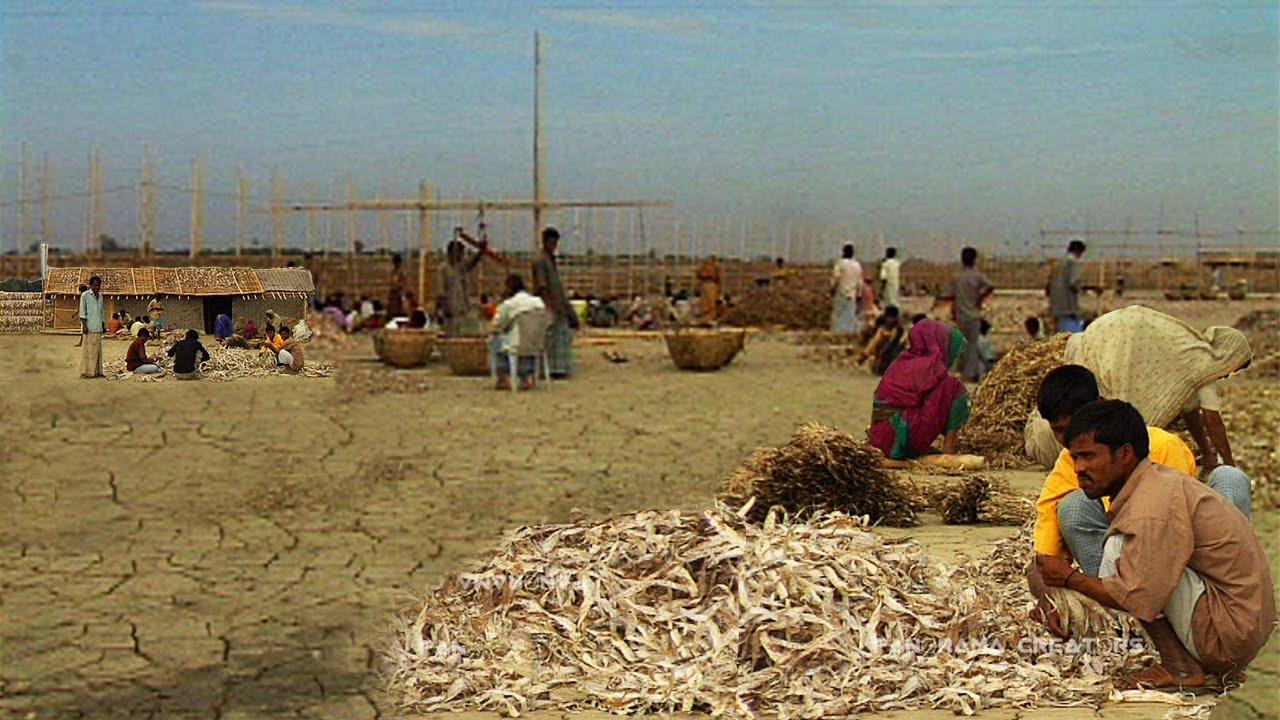 কুতুবদিয়া দ্বীপের  শুঁটকি পল্লী  | Dry Fish Yard in kutubdia Island