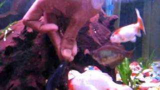 My Black Ghost Knife fish is eating his favourite meal from my own hand just like everyday !!!!!
