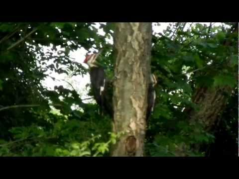 Pileated Woodpeckers in Halfmoon, NY