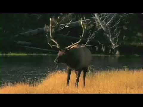 YellowStone National Park| Bull Elk Fight For The Ages
