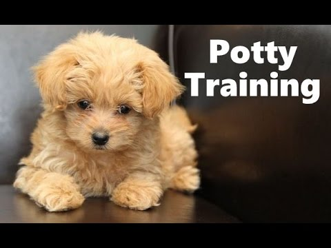 Pomapoo Puppies For Sale Funnydog Tv