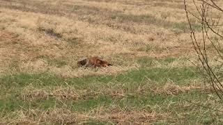 Jagend vosje vlak naast auto Wateren Drents Friese Wold