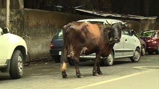 Inde: des maisons de retraite pour vaches sacrées