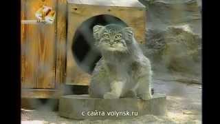 В Новосибирском зоопарке родились манулы