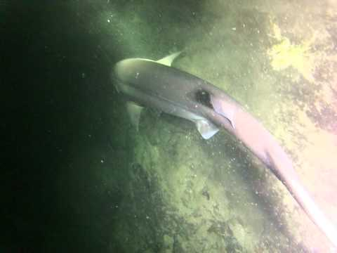Sixgill sighting at Kelvin Grove on August 12, 2012 . Video by Chris Straub.