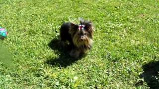 Teacup Yorkie Adult 3 Lbs. We Have Yorkies For Sale