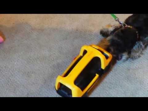 Cute Schnauzer Puppy Hates School || CooperTheSchnauzerKing