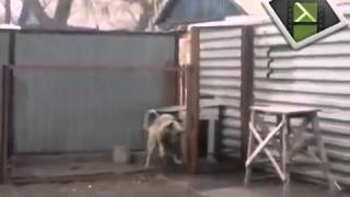 Собака танцует