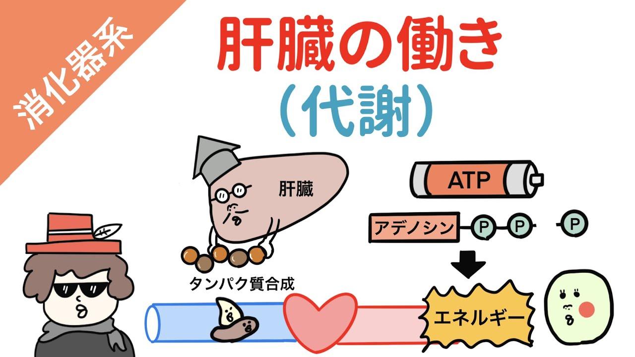 【肝臓の働き】糖代謝・タンパク質代謝・脂質代謝