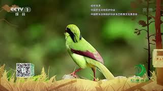 《秘境之眼》 黄胸绿鹊 20200111| CCTV