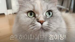 #고양이 #개냥이 #힐링 #고양이훈련 손, 하이파이브를…