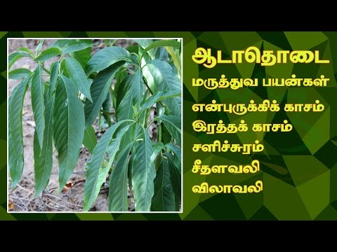 Natural Remedy For All Respiratory Problems | Justicia Adhatoda | Adathodai
