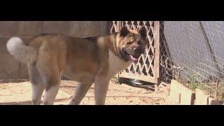 Нападение собаки породы американская Акита на ребенка