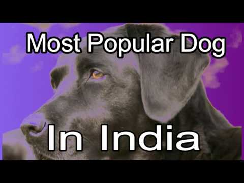 Most Popular Dog In India . which dog breed is the best भारत में सबसे लोकप्रिय कुत्ता