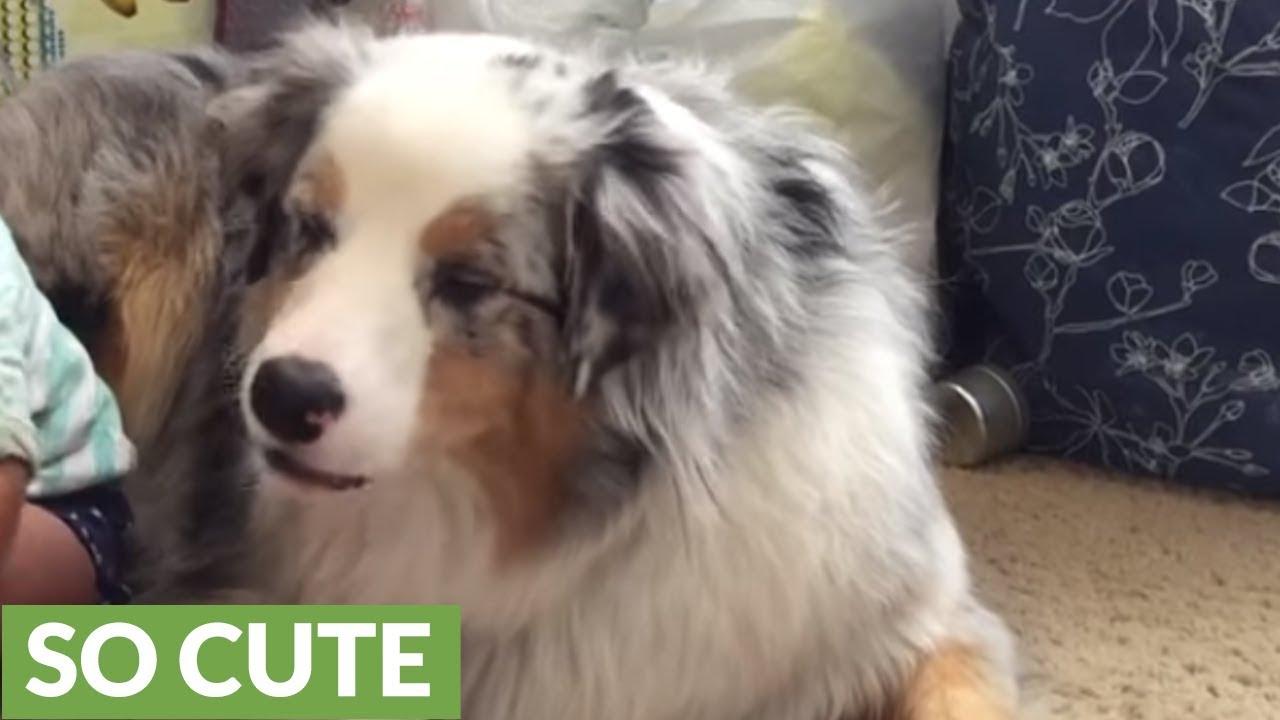 Baby Hand Feeds Dog Food To Australian Shepherd Youtube