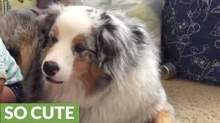 Baby hand feeds dog food to Australian Shepherd