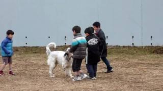 はやては大きな犬ですが、優しい性格なので、少年達のいい遊び相手です...