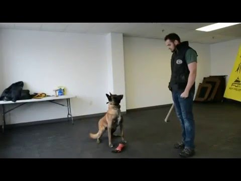 Malinois Obedience