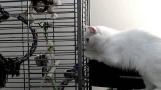 Попугай корелла Геля vs кошки Мурыси
