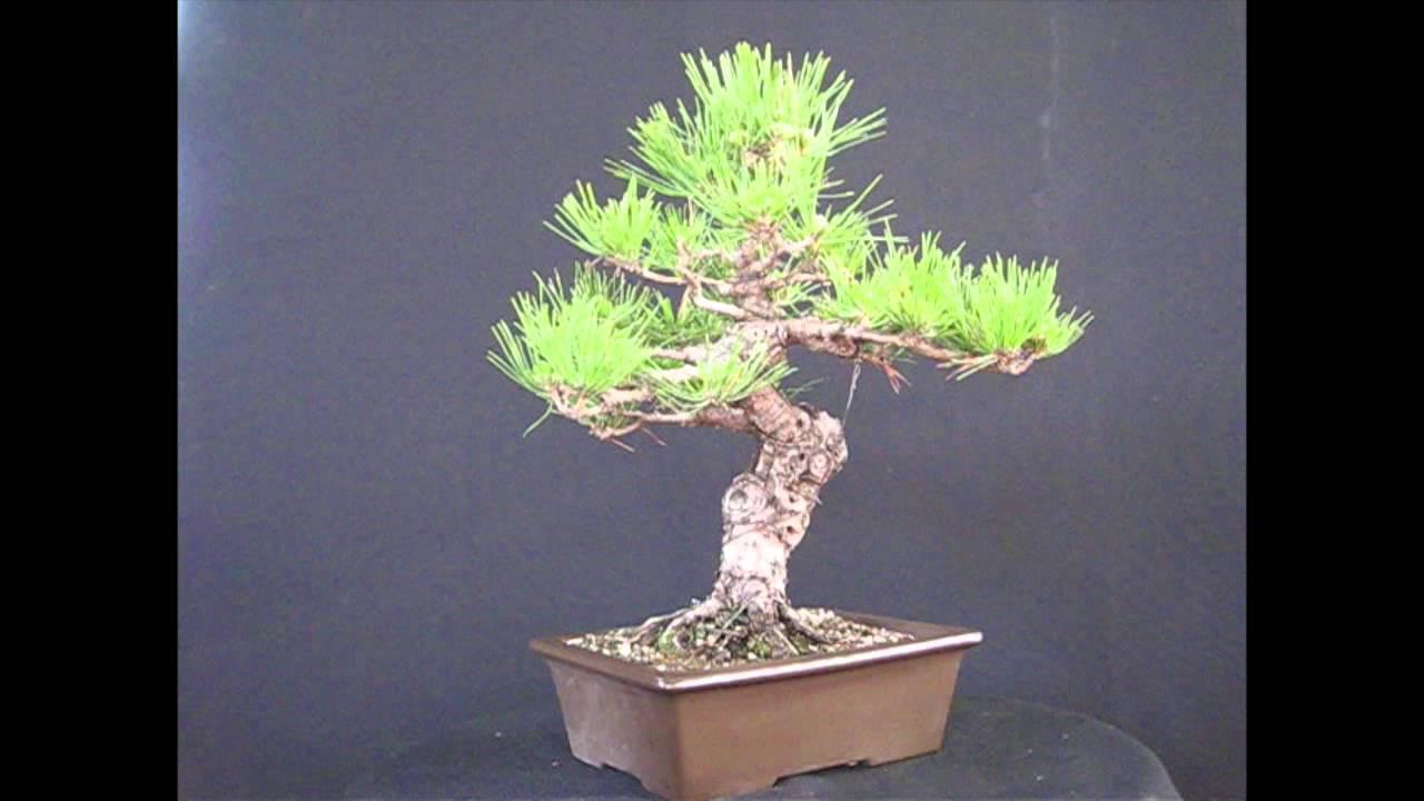 vendita bonsai milano pino nero thumbergii youtube