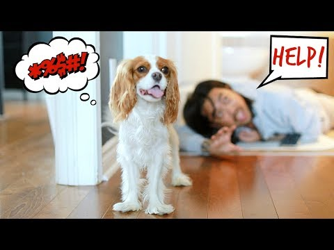 FAKING MY DEATH IN FRONT OF MY DOGS (funny) | Cavalier King Charles reaction