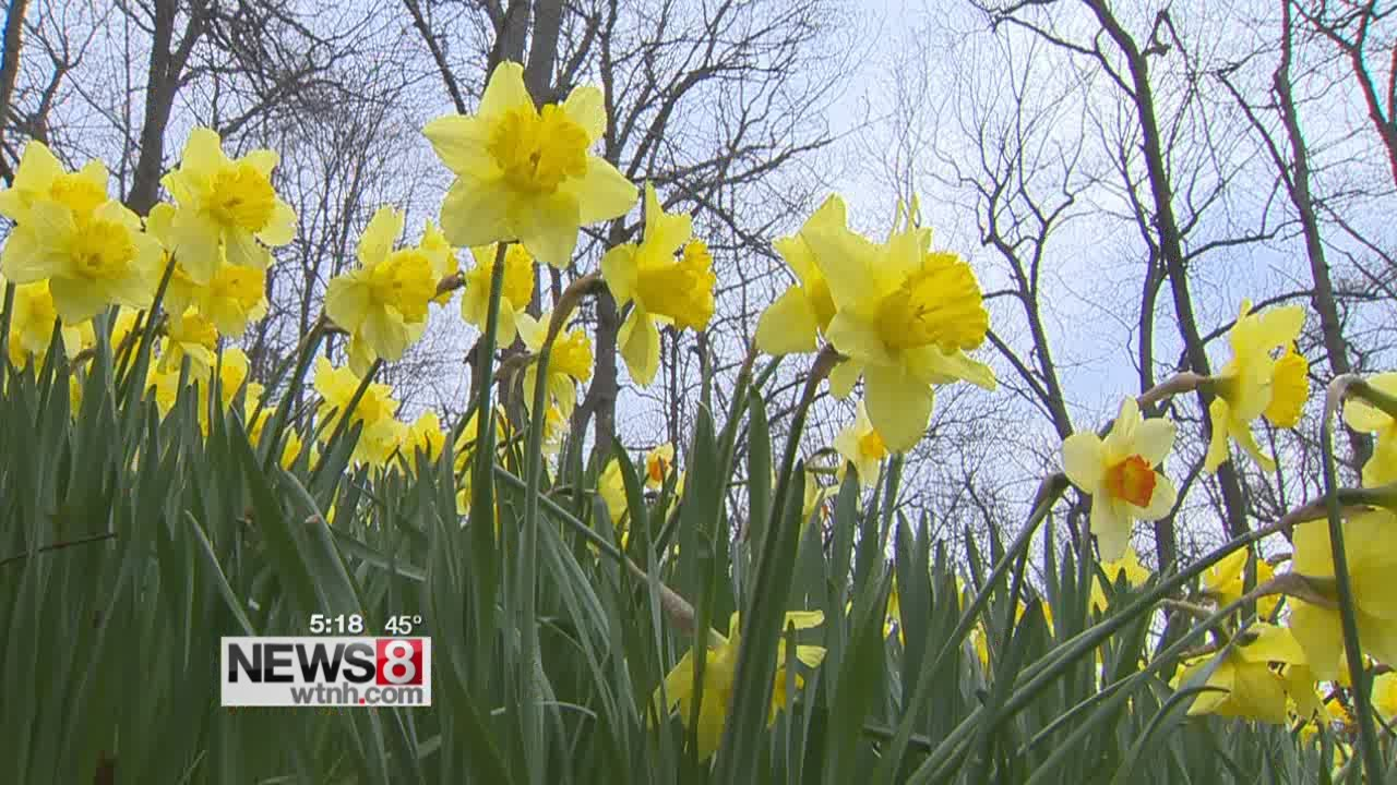 Annual Meriden Daffodil Festival Is This Weekend
