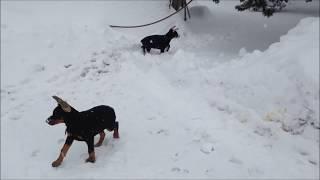 Champion Sired Doberman Pinscher Snow Puppies