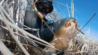 Подводная охота на сазана 10кг