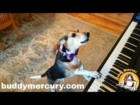 Moran - Buddy Mercury!! Singing Piano Dog Sensation!!