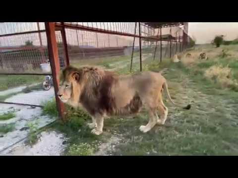 Мы выпускаем БЕЛУЮ ЛЬВИЦУ в савану! ЛЬВЫ ОКРУЖИЛИ МАШИНУ !Russian Lion man !